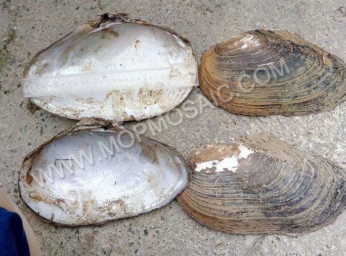 Chinese river shells of raw material