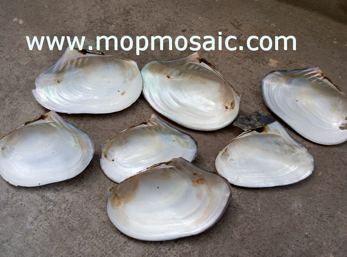 18-24cm chinese freshwater river shell raw material
